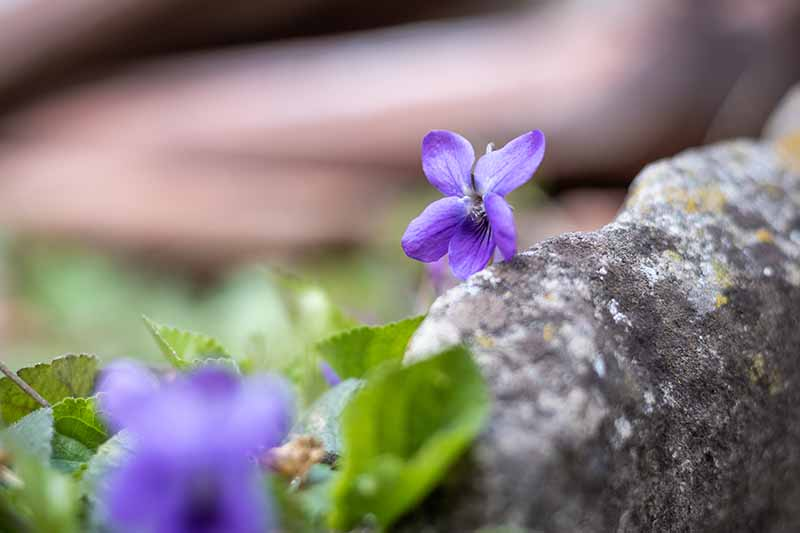 A close up of a small purple wildflower growing next to a rock on a soft focus background.