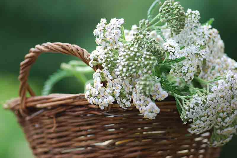 A close up of freshly harvested white Achillea millefolium flowers in a dark brown wicker basket on a soft focus background.