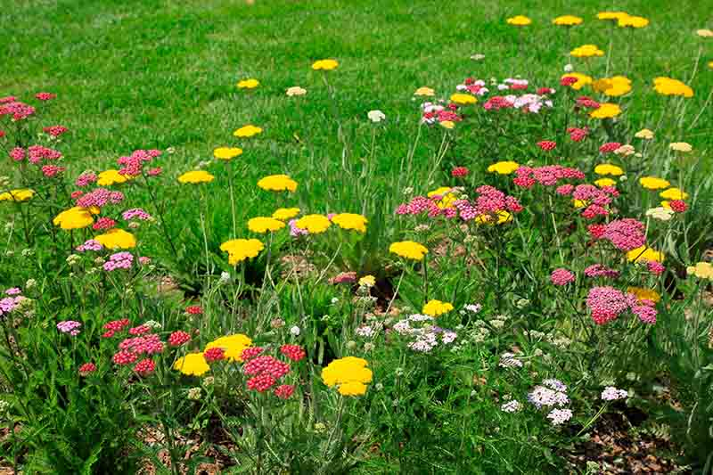 A garden border with a variety of different colored Achillea millefolium flowers with a lawn in the background.