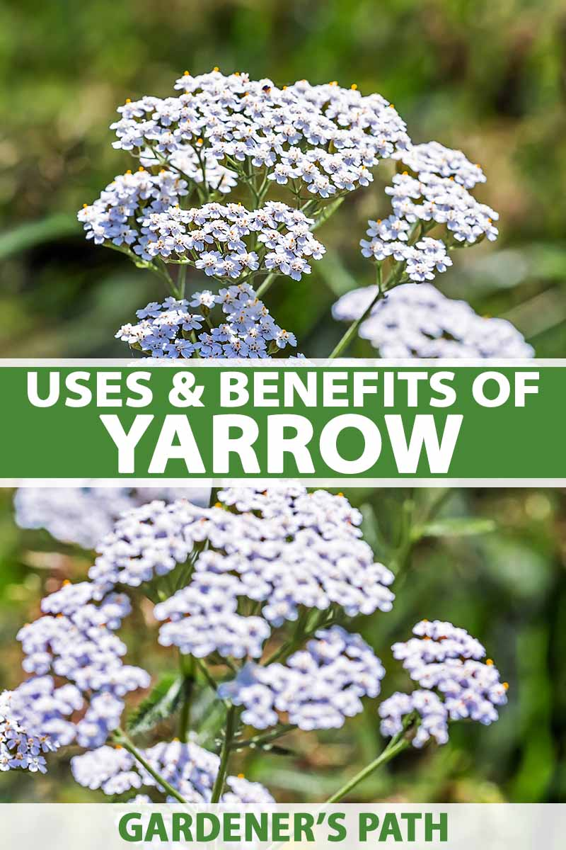 A vertical picture of a yarrow plant with white flowers growing in the garden in bright sunshine on a soft focus background. To the center and bottom of the frame is green and white text.