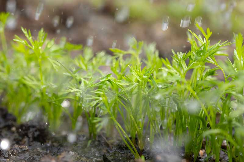 A close up of small seedlings growing in the garden in the rain on a soft focus background.