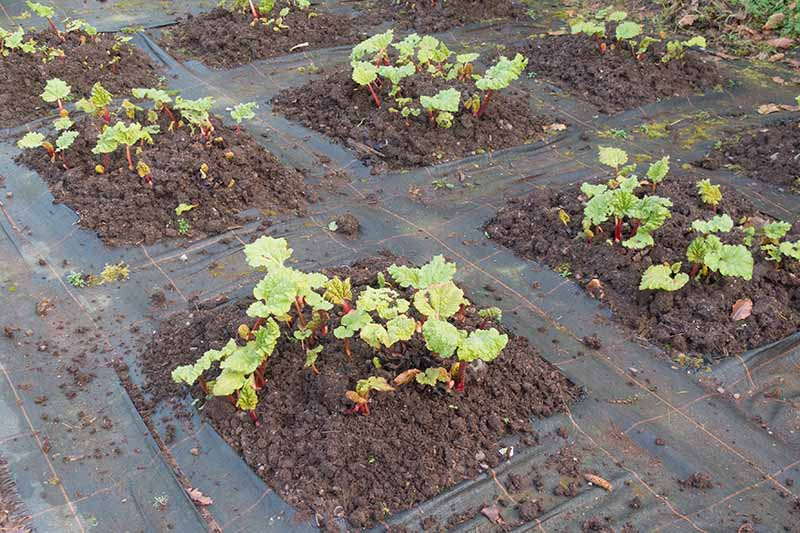 A close up of young rhubarb plants growing in the garden with landscape fabric in between them, creating neat rows, fading to soft focus in the background.