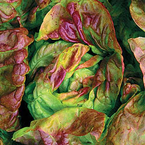 A top down close up picture of the 'Yugoslavian Red' lettuce variety with light green and red leaves surrounding a round center heart.