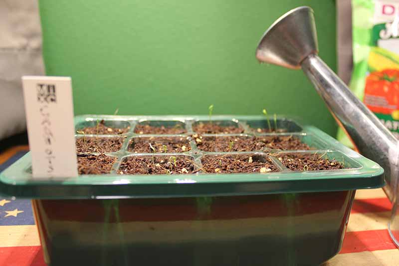 A close up of a green plastic tray with tiny seedlings emerging from the soil, with a metal watering can to the right of the frame, on a green background.