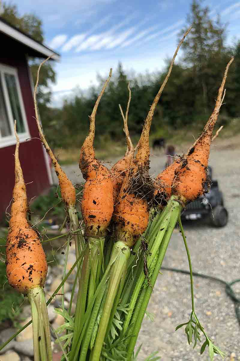 A vertical picture of freshly harvested carrots with slightly deformed roots, covered in soil, with the green foliage attached. In the background is blue sky and a house and car in soft focus.