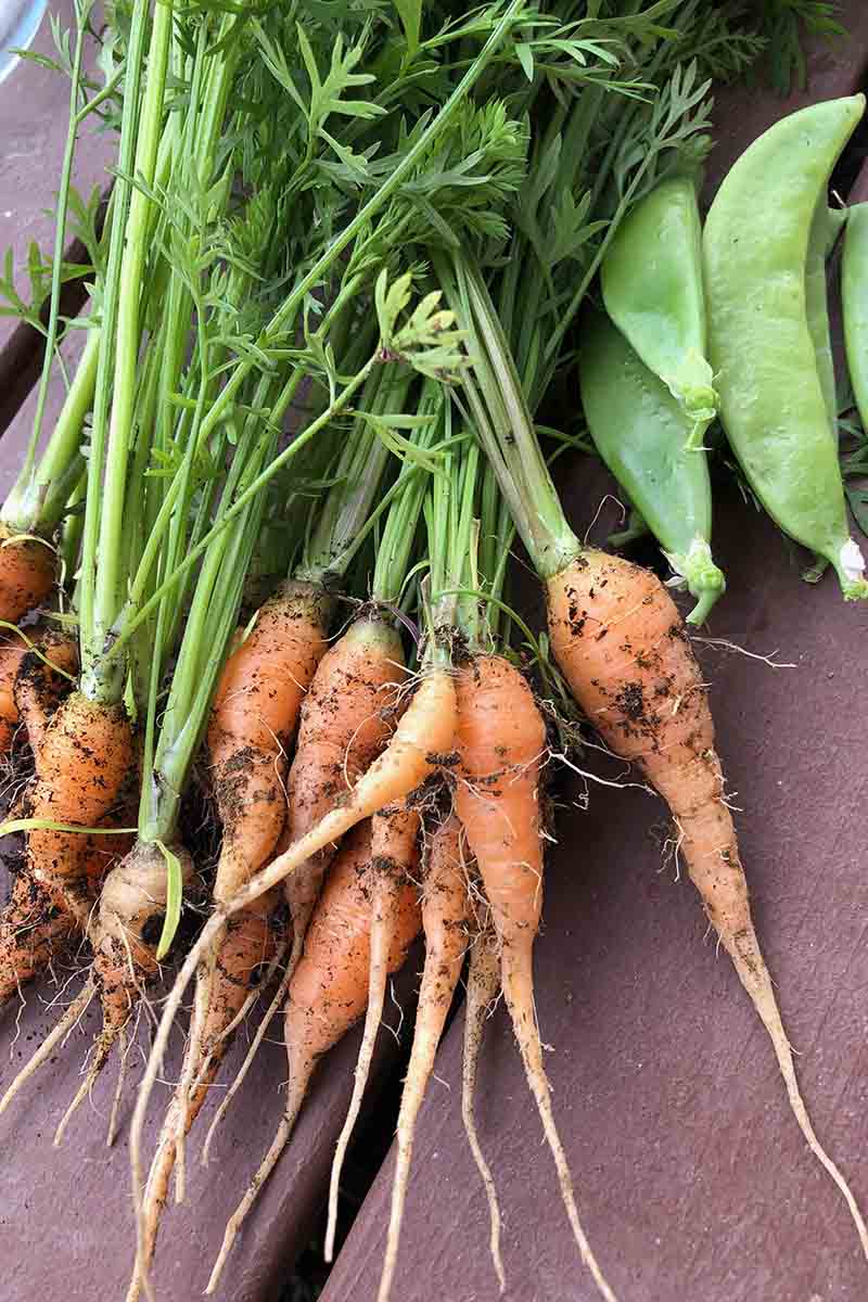 A close up vertical picture of freshly harvested carrots with soil and foliage still attached, set on a wooden surface.