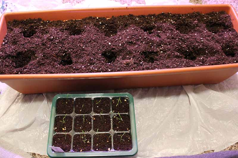 A close up of a long rectangular container with potting soil that has had holes dug in it for transplanting seedlings. To the bottom of the frame is a seedling tray ready for transplanting.