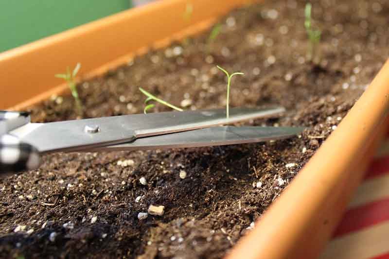 A close up of scissors from the left of the frame trimming small seedlings that are growing in a long rectangular container.