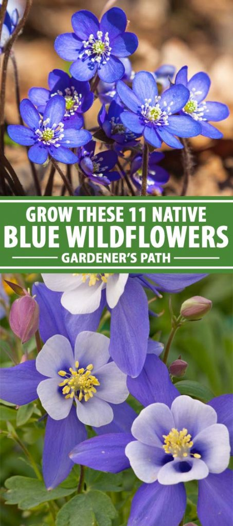 A collage of photos showing different species and types of American native blue wildflowers.