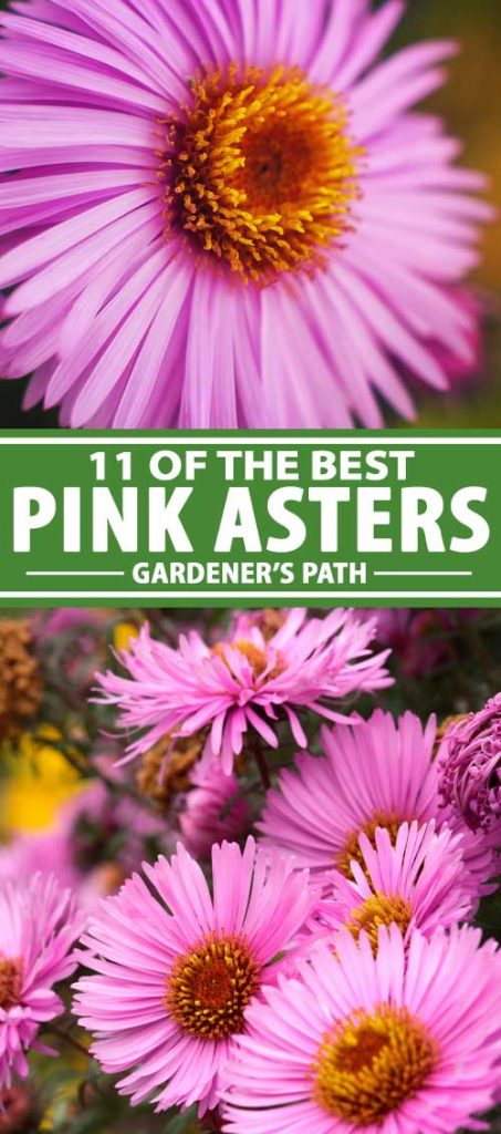 A collage of photos showing different types of pink aster flowers