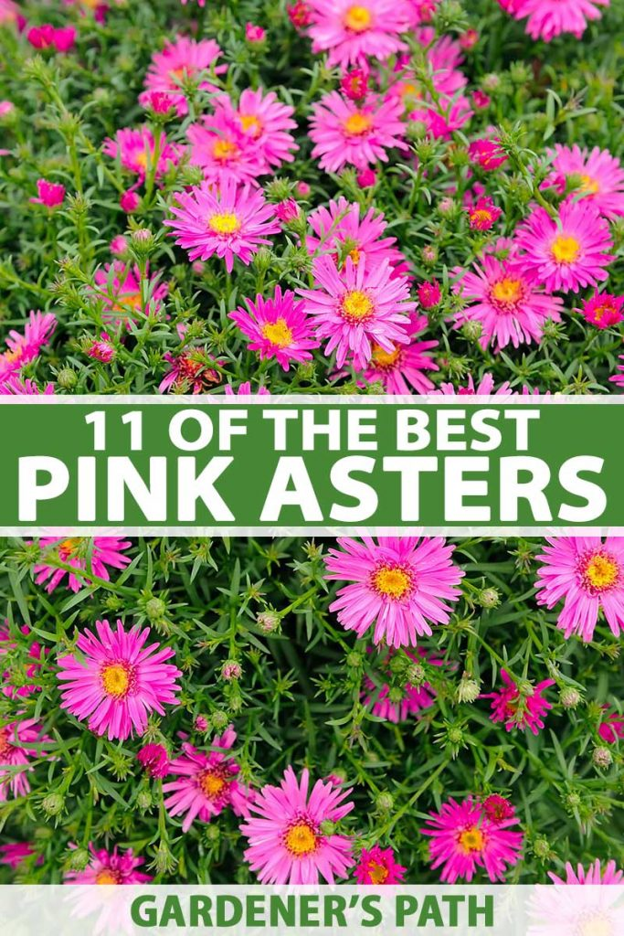 A vertical close up of pink aster flowers with bright yellow centers growing in the garden surrounded by green foliage. To the center and bottom of the frame is green and white text.