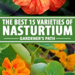 A collage of flower showing different varieties of nasturtium flowers.