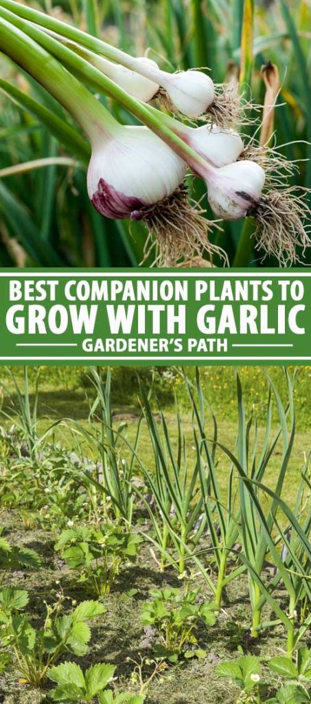 A collage of photos showing garlic being grown with companion plants.