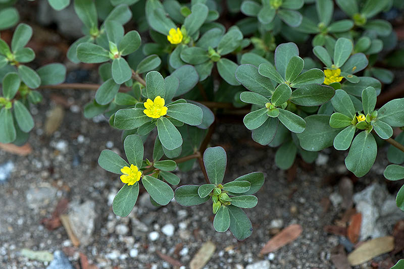A close up of the green leaves and small yellow flowers of the Portaluca oleracea plant growing in the garden.