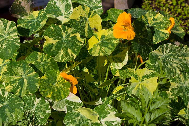 A close up of Tropaeolum majus 'Alaska' cultivar with green and white variegated leaves and bright orange flowers, pictured in bright sunshine.
