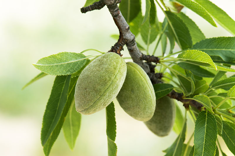 A close up of almonds growing on the tree before they have begun to split open and ripen.