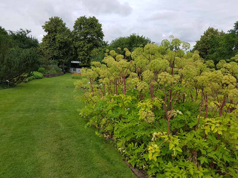 A large patch of angelica growing in the garden next to a manicured lawn with trees in the background and a cloudy sky in soft focus.