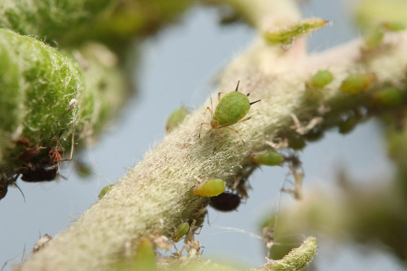 A close up of small green aphids feeding on a branch on a soft focus background.