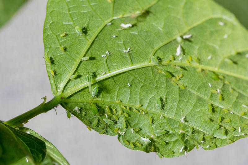 A close up of the underside of a leaf infested by aphids, on a soft focus background.