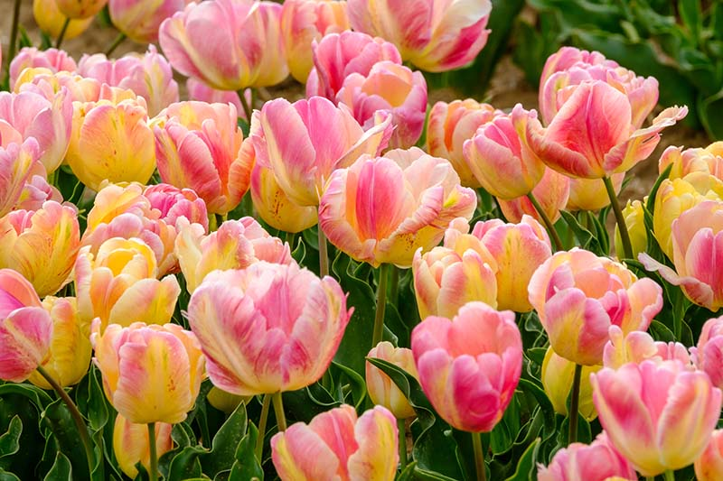 A close up of a mass planting of vibrant tulips in the spring garden on a soft focus background.