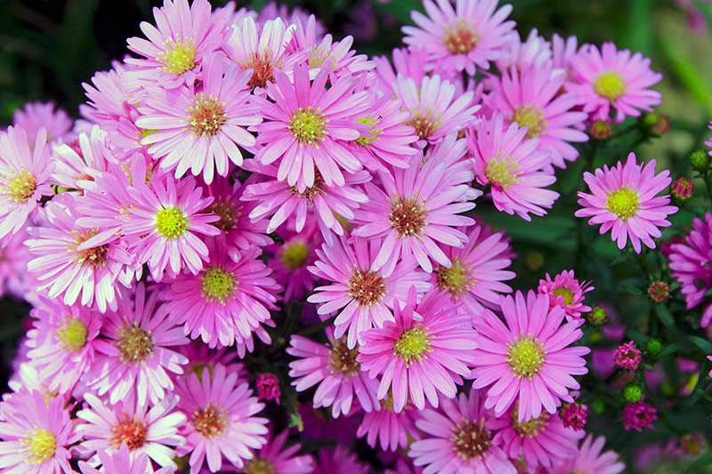 A close up of bright pink flowers with yellow centers of the Aster amellus 'Pink Zenith,' also known as 'Rosa Erfullung' growing in the garden on a soft focus background.
