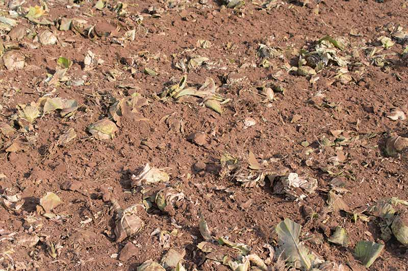 A close up of dry soil with vegetable matter dug into it to act as green manure.