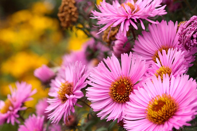 A close up of 'Barr's Pink' asters growing in the garden with bright yellow centers, on a soft focus background.