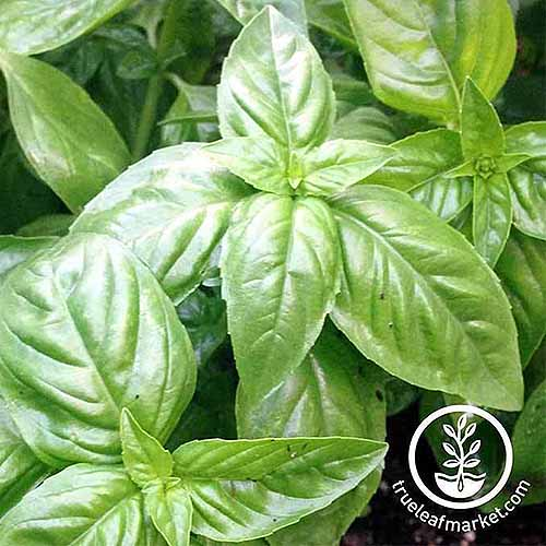 A close up picture of a basil plant growing in the garden on a soft focus background. To the bottom right of the frame is a circular logo and text.
