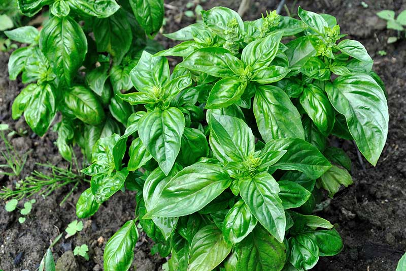 A close up top down picture of a basil plant growing in the garden with soil in the background.