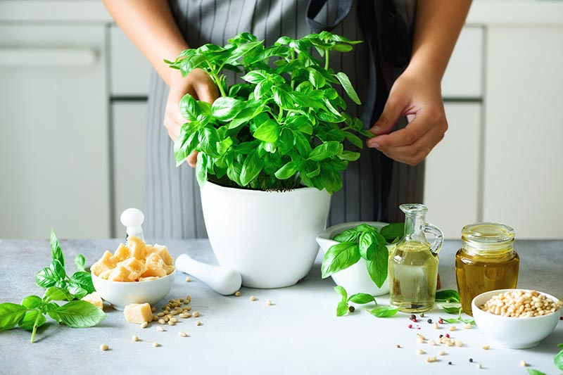 A close up of a man harvesting basil leaves from a potted plant in the kitchen and a variety of ingredients on a white surface to the right and left.