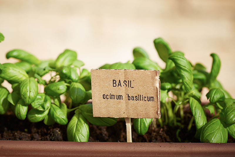 A close up of a container with small basil plants and a cardboard sign on a soft focus background.