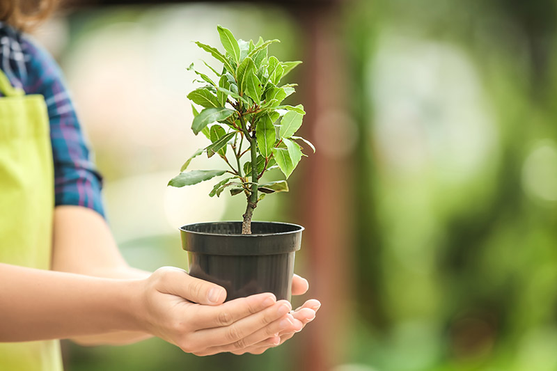 Two hands from the left of the frame holding a small bay laurel tree in a black plastic pot on a green soft focus background.