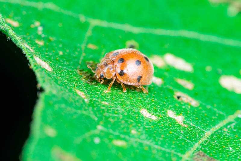 A close up of a ladybug on a bright green leaf in the sunshine.