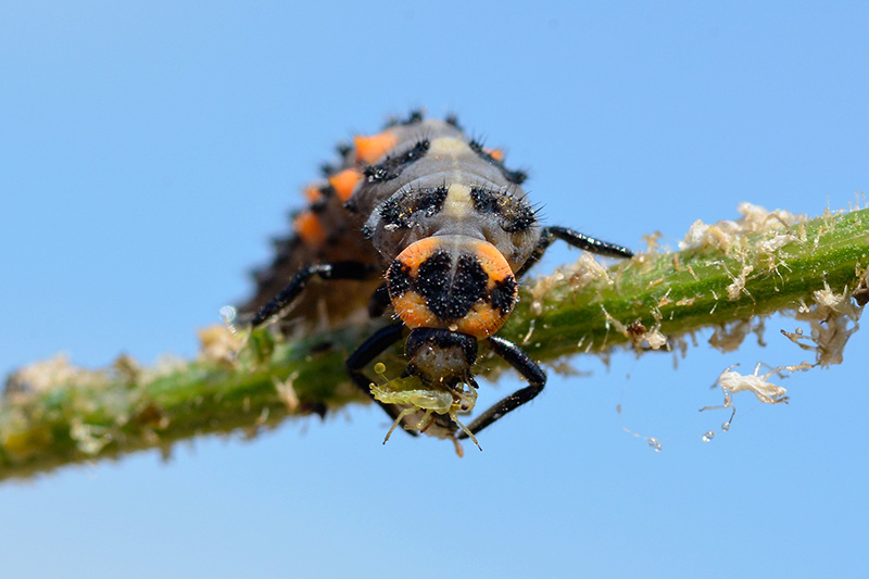 A close up of a predatory insect feasting on aphids on a branch with blue sky in the background.