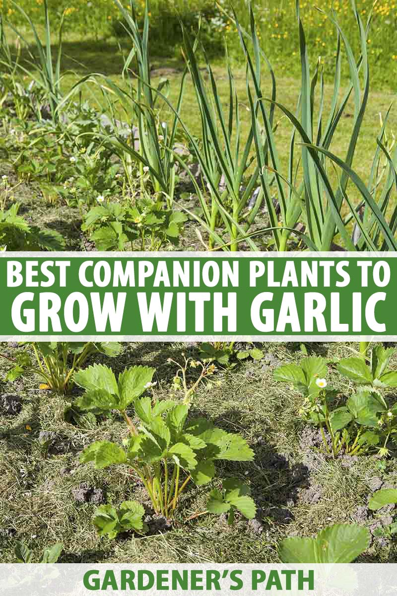 A vertical image of a garden bed with garlic and strawberries companion planted together, in bright sunshine. To the center and bottom of the frame is green and white text.