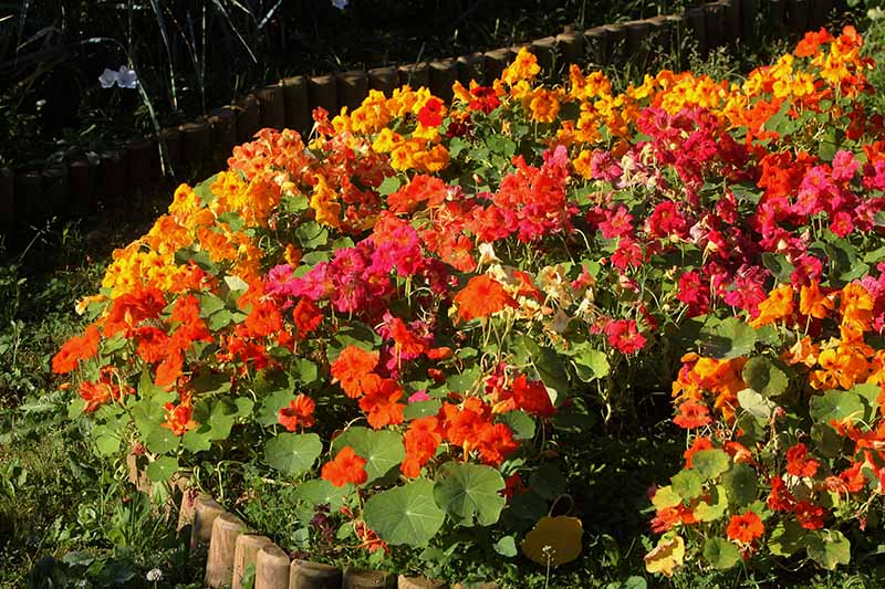 A close up of a garden border filled with a wide variety of different nasturtiums in all different colors, in the background is a garden bed in the shade.