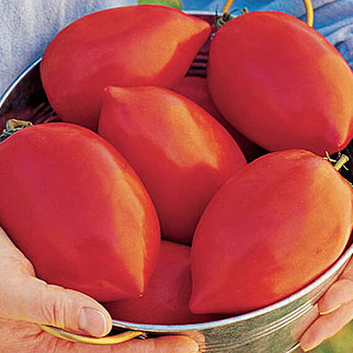 A close up of two hands holding a metal bowl containing large 'Big Mama' tomatoes, in bright sunshine.