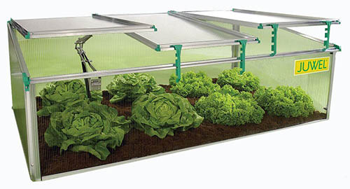 A close up of an outdoor mini greenhouse or cold frame with a selection of lettuces growing inside on a white background.