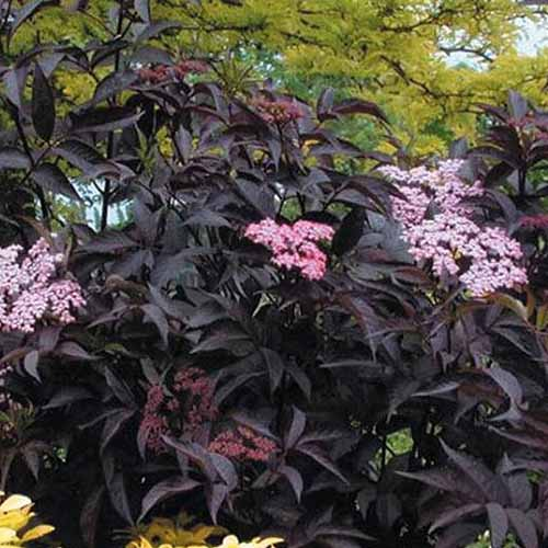 A close up of Sambucus nigra 'Black Beauty' cultivar growing in the garden with dark purple leaves and pink blossoms.