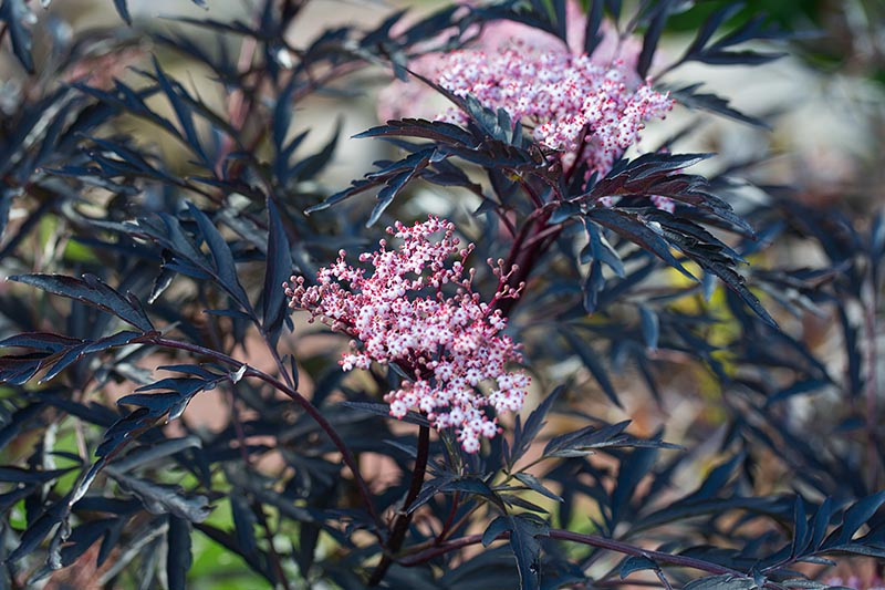 A close up of the delicate pink flowers and dark purple foliage of the 'Black Lace' Sambucus nigra cultivar pictured on a soft focus background.