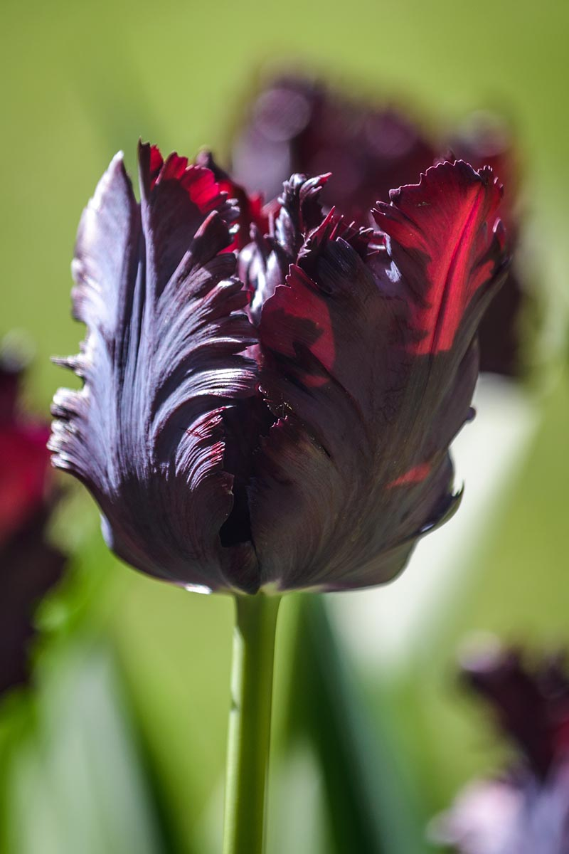 A close up of the 'Black Parrot' flower starting to unfurl in the late spring garden on a green soft focus background.