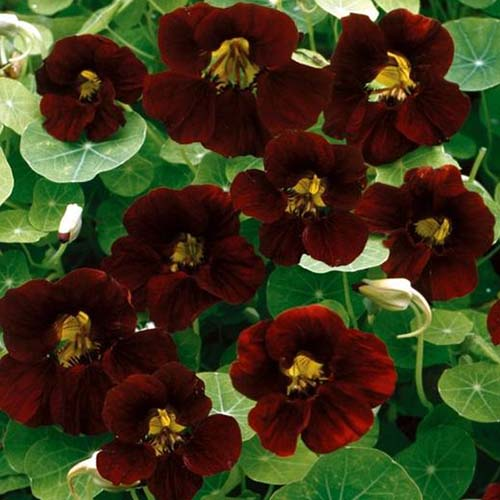 A close up of the deep red, almost black flowers of the 'Black Velvet' nasturtium cultivar, pictured growing in the garden, surrounded by green foliage in light sunshine.