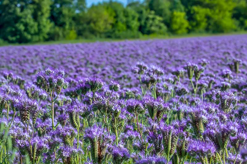 A field planted with phacelia as a cover crop, with bright blue flowers contrasting with the green foliage, pictured in bright sunshine, fading to soft focus in the background.