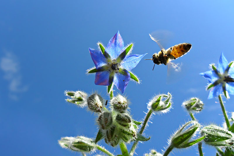 A close up of a bright blue Borago officinalis flower with a bee approaching it, with blue sky in the background, pictured in bright sunshine.