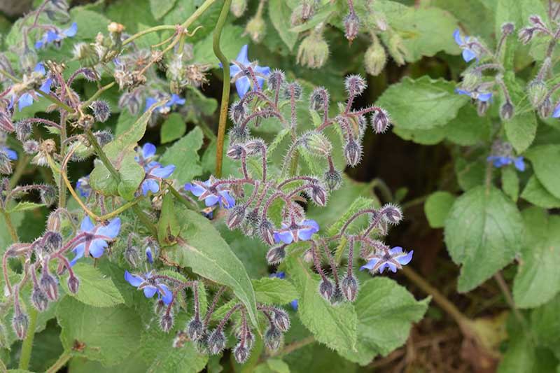 A close up of the delicate blue flowers of Borago officinalis surrounded by foliage on a soft focus background.