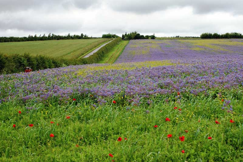A large field in Devon, England, planted with Borago officinalis to use as green manure, with bright blue flowers contrasting with the cloudy sky, which is normal for an English summer day.