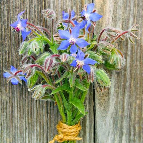 A close up of a freshly harvested bunch of flowering Borago officinalis tied with string and set on a wooden surface.