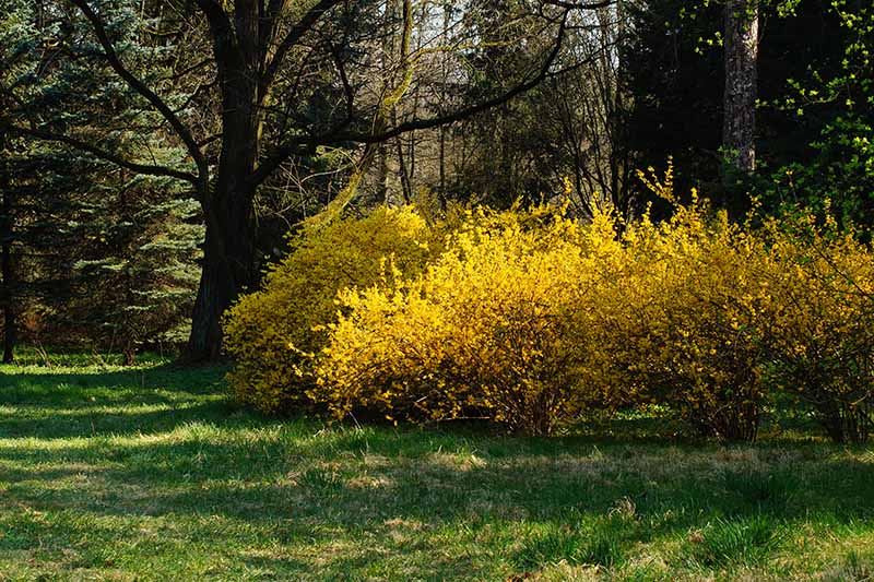 A woodland scene with bright yellow forsythia in full bloom in spring, with grass in the foreground and trees in soft focus in the background.