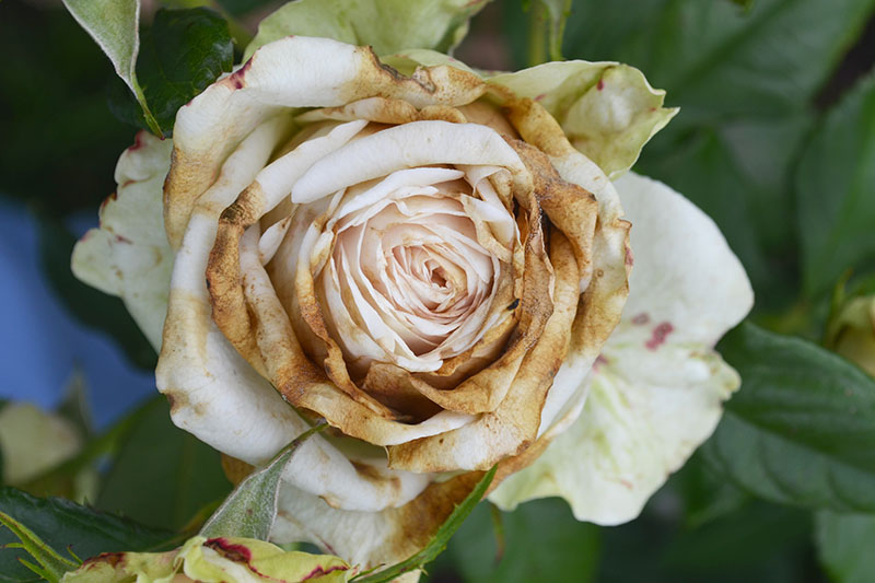 A close up of a rose bloom suffering from botrytis blight. The petals are going brown and drying out. The background is soft focus.
