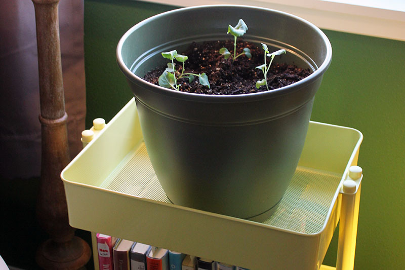 A close up of a small green pot containing seedlings set on a yellow plastic shelf in a sunny window.